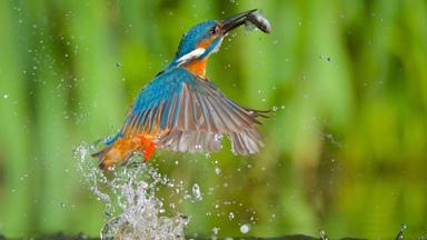 Close-up Look At Kingfishers Hunting