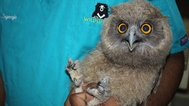 Dusky Eagle Owl Rescued From Black Magic Poachers