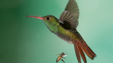 Rare Hummingbirds Pictured In Remote Jungle