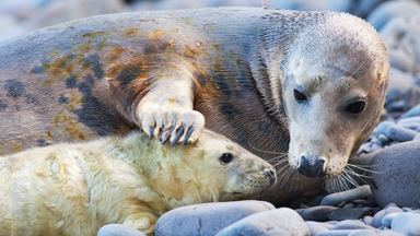Seal of approval! Newborn pups nursed by doting mums