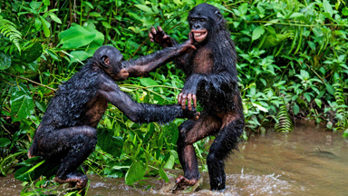 Go Ape: Playful Bonobos Make A Splash