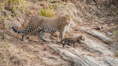 Safety First: Mother Leopard move cubs to new home away from predators