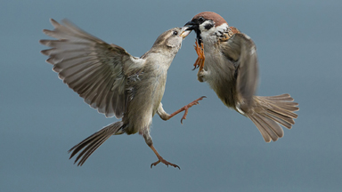 SPARR-ing Partners: Peckish Sparrows Fight Over Food