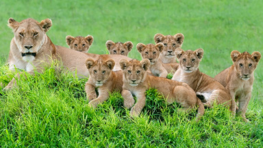 Say Cheese: The Perfect Lion Family Portrait