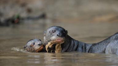 Otter Family Fight For Survival Against Jaguar Attack