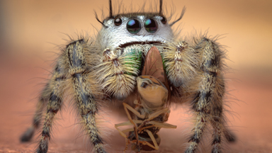 Caught in a Trap: Magnified Spiders Catch Flies