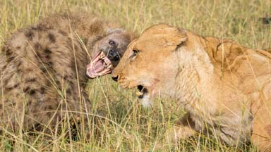 Lions face off with pack of hungry hyenas