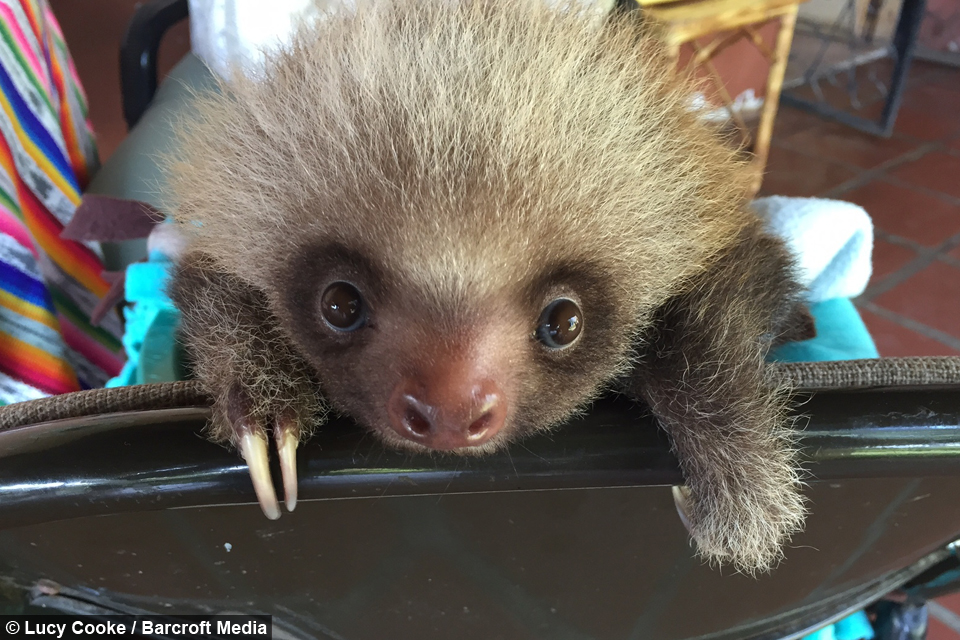 Cute Baby Sloths Learn to Climb | AOL.com