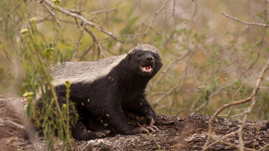 Born to bee wild: Honey badger feeds on wild beehives