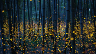 Thousands of fireflies create real-life enchanted forest
