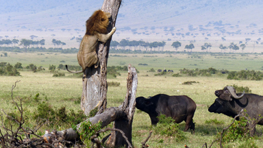 The Great Escape? Cowardly Lion Climbs A TREE To Escape Herd Of Buffalo