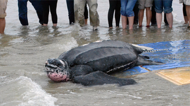 Turtle Recall: 475lb Leatherback Returned to The Sea