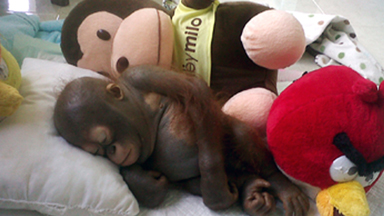 On The Mend: Baby Orangutan Makes Incredible Recovery