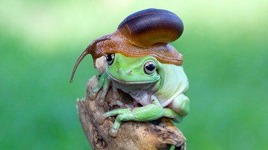 Snail Rider: Mollusc Hitches a Ride on Frog's Head