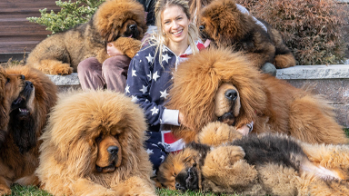 Tibetan Mastiffs - The 200lbs 'Bear Dogs'
