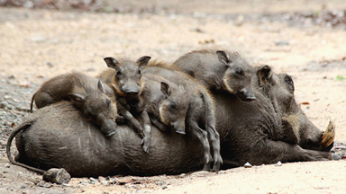 Let Sleeping Hogs Lie: Adorable Baby Warthogs Nap On Mother