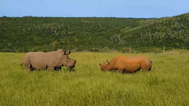 White Rhino Vs Black Rhino Captured on Camera In Rare Face-Off