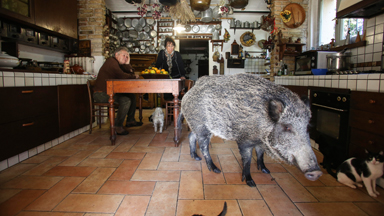 Piggy in the Middle: Living With A Huge Boar