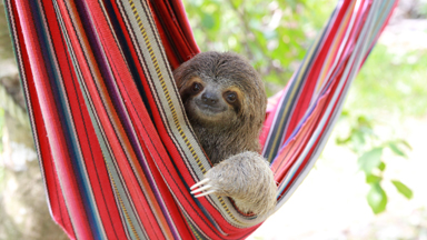 Baby Sloths Hang Out In Hammocks