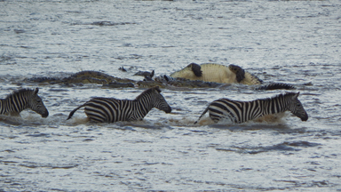 Crocodiles Brutally Ambush Zebras During Migration