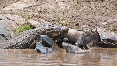Wildebeest Calf Caught Between Two Rocks and Two Crocs