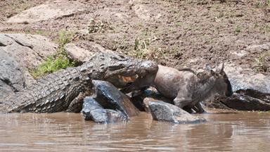 Wildebeest Calf Caught Between Two Rocks and Two Crocs