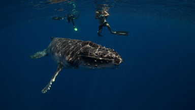 Free diver bonds with migrating humpback whales