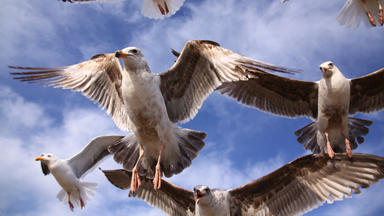 Flight Club: Seagulls Swoop Down For Food In Incredible Close-Up Shots