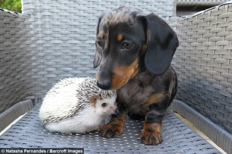 Pet Pals Hedgehog And Dogs Are The Best Of Friends
