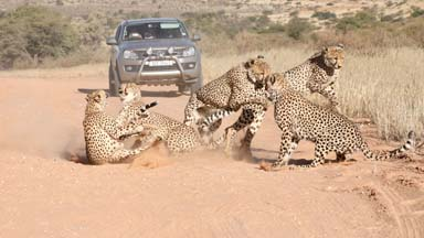 Coalition Of Cheetahs Attack Female