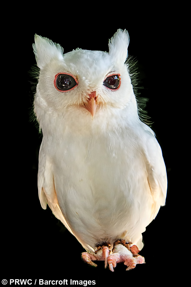 Born Different Luna The Albino Screech Owl