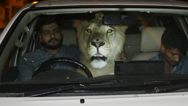 There's A Lion In My Car!