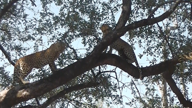 Leopard Mother and Daughter have a Catfight Over Territory