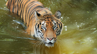 Rescued Circus Tiger Touches Water for the First Time