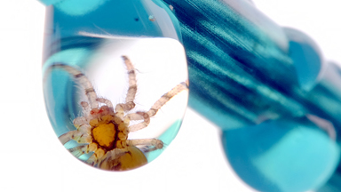 Caught in Deep Water: Tiny Money Spider Gets Trapped Inside Raindrop
