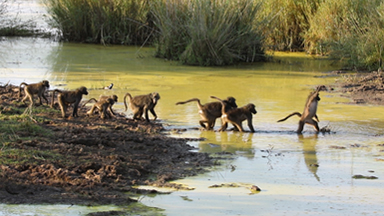 Monkey Business: A troop of baboons comically cross a river