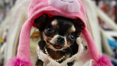 Tiny Chihuahua Weighs 2lbs