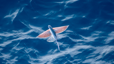 Rare Sighting: Beautiful Flying Fish Spotted In The Atlantic Ocean