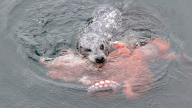 Anyone For Sushi? Seal Snares Octopus Supper