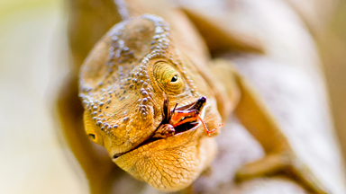 Gotcha! Cheeky Chameleon Catches Prey