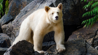 Rare Bears: The elusive spirit bear comes out of hiding