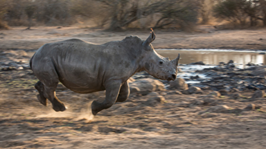 Get Off My Land! Young Rhinos chased From Watering Hole