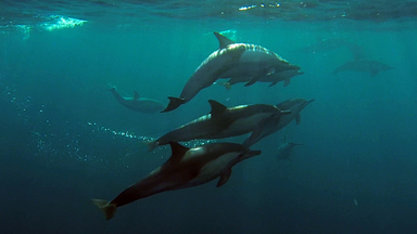 Drone captures pod of dolphins swimming alongside boat