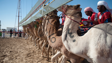 Saddled Up: Courageous riders risk lives for glory in camel races