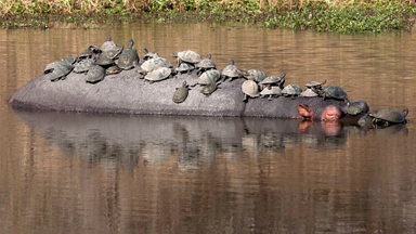 Terrapins Hitch A Ride On The Back Of A Hippo