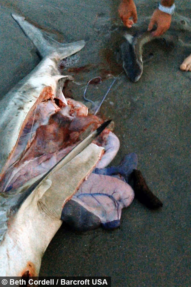 Sea Section Incredible Shark Birth Caught On Camera