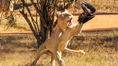 Winging it: Peckish Lion Catches A Bird