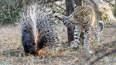 He's Feeling Spiky! Leopard Tries To Eat Porcupine