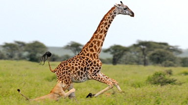 Lucky Giraffe Narrowly Escapes Becoming Lunch