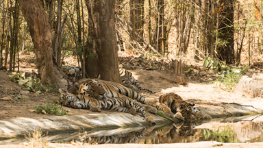 Babysitters Cub: Male Tiger Looks After Young Whilst Mum Hunts
